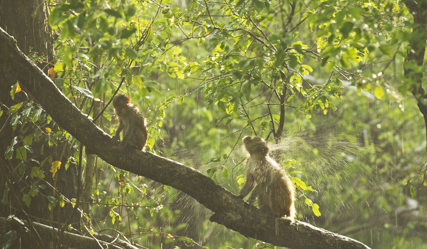 Macaques-in-rain_corbett