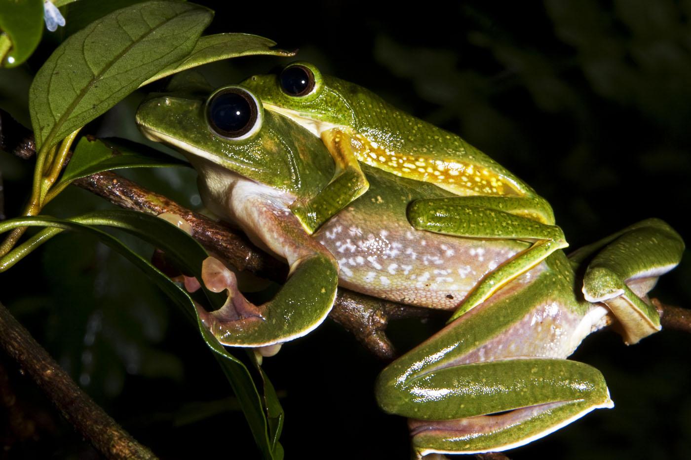 Pseudomalabaricus_Frogs