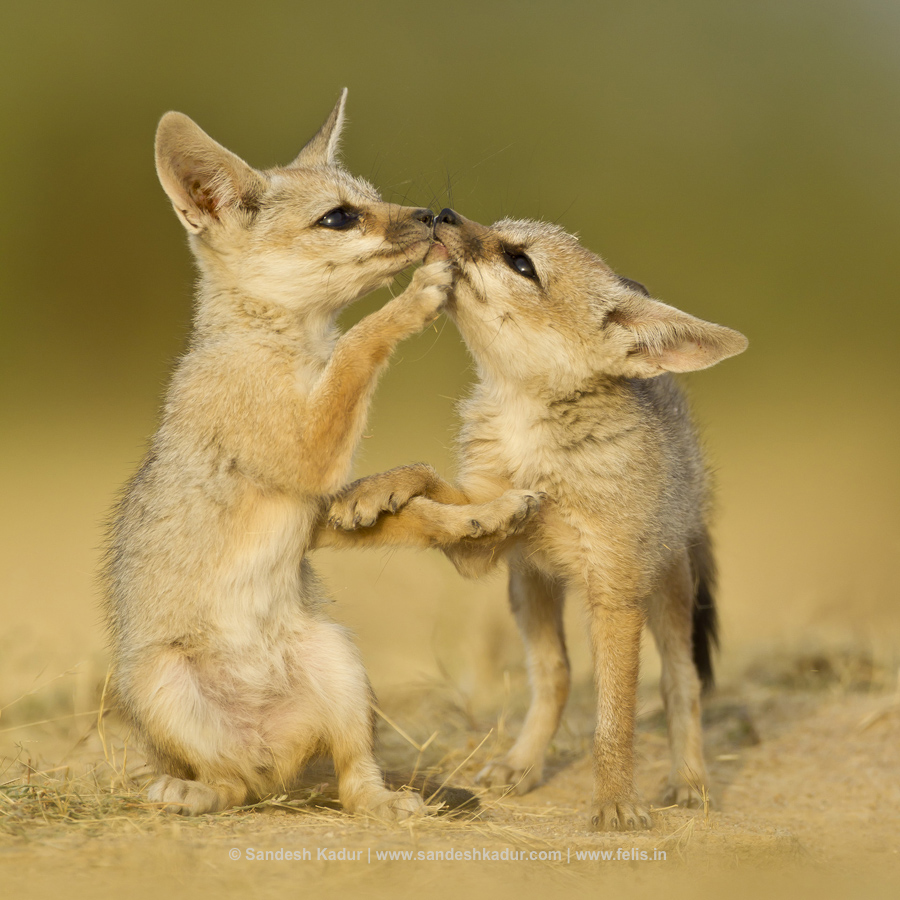 SandeshKadur_Fox-pups_Animal-Antics1