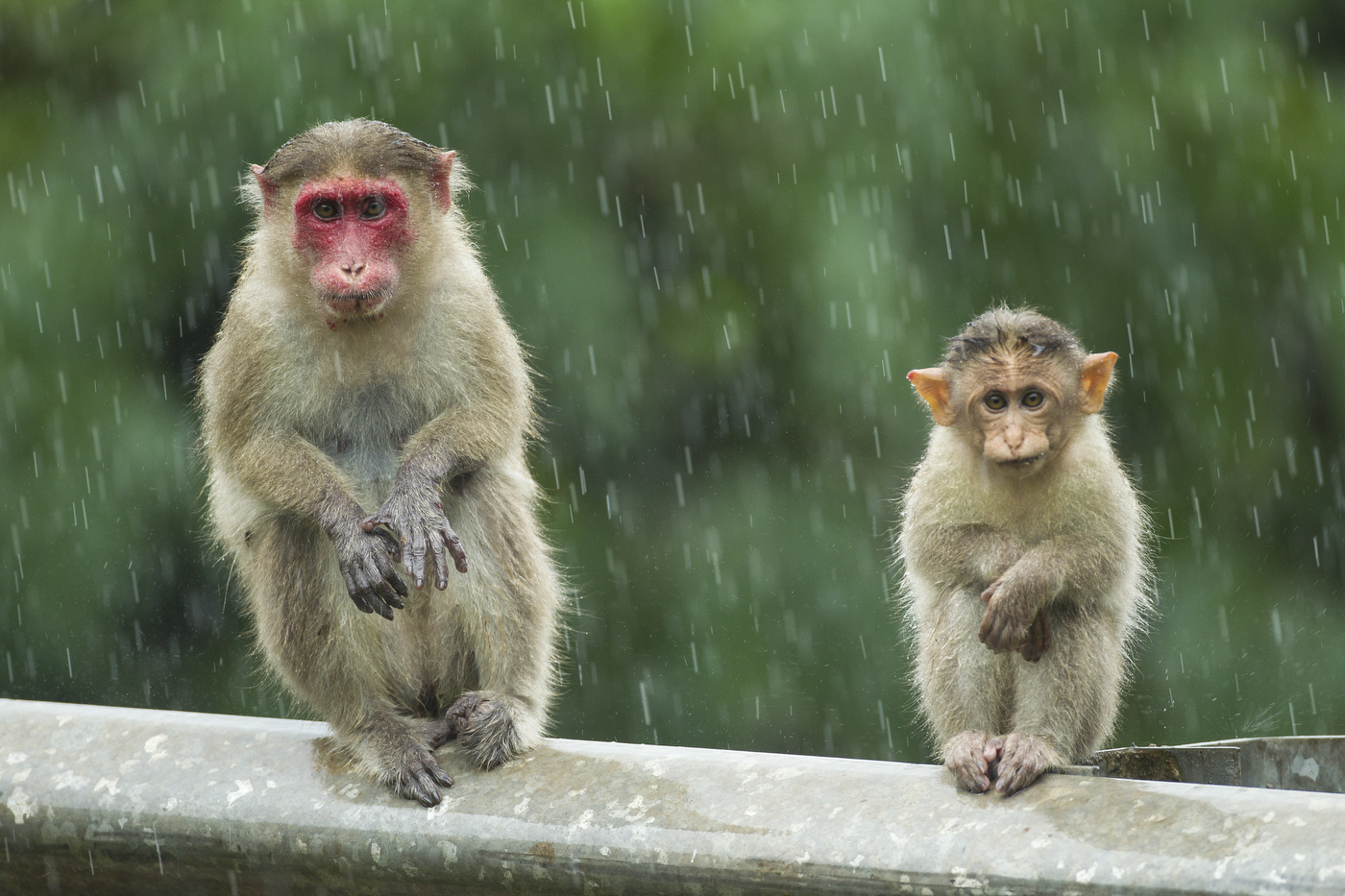 Macaques in rain_0274